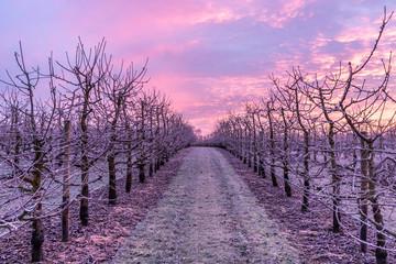 Foto auf AluDibond Flieder Sonnenaufgang über einer Obstplantage im Winter