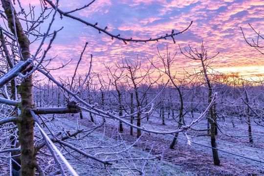 Sonnenaufgang über einer Obstplantage im Winter