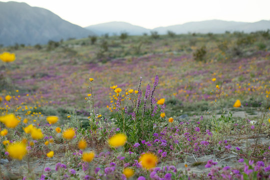 Desert Wildflowers blooming in the Anza Borrego Desert, the largest state park in California