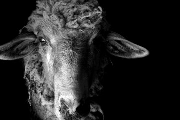 Black and white portrait of a sheep gazing in a camera