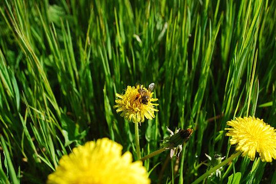 цветок одуванчик.  пчела на одуванчике .