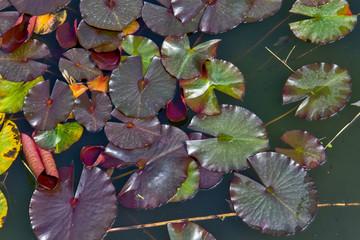 Foto op Canvas Waterlelies Green leaves of water lilies in water