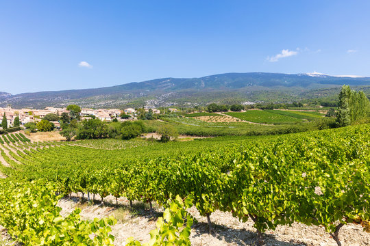 Vinyard in front of famous Mt. Ventoux, Provence, Southern France