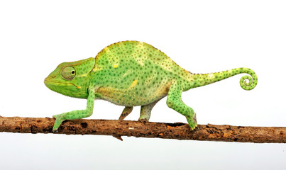 Usambara three-horned chameleon / Usambara-Dreihornchamäleon (Trioceros deremensis)