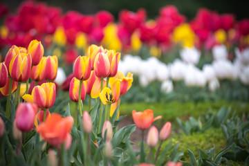 Fotobehang Tulp チューリップの花 春イメージ