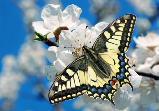 Swallowtail butterfly on a branch of blooming cherry. blooming sakura and butterfly. spring background. flowering gardens