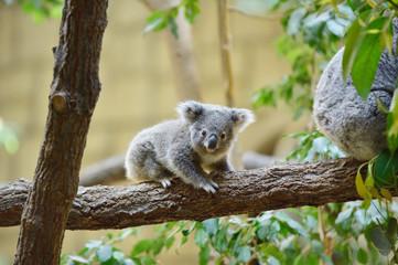 Garden Poster Koala コアラ