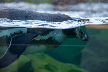 Photo sur Toile Pingouin Humboldt penguin (Spheniscus humboldti) swimming in the water