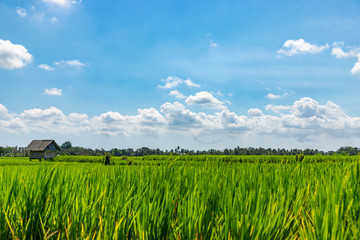 Poster Blauw Balinese rice field with young rice ears and traditional hut on background. Bali island, Indonesia