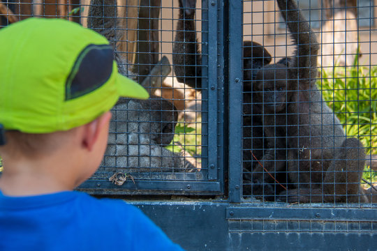 4 years old boy watching gray woolly monkeys in their cage at a zoo