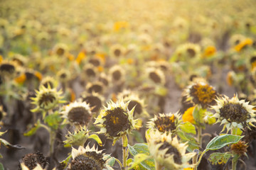 Dead sunflowers field, drought concept