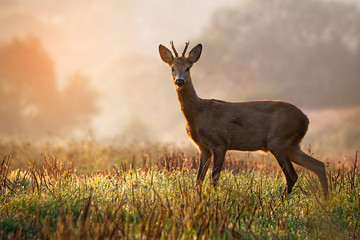Curious roe deer, capreolus capreolus, buck standing on a stubble field at sunrise in summer. Sunny scenery with wild mammal on agricultural field with copy space.