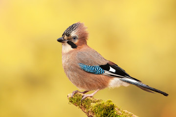 Eurasian jay, garrulus glandarius, sitting on a moss covered branch in autumn. Intelligent wild bird in natural environment with blurred yellow background. Fotomurales