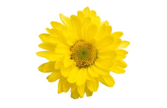 yellow chrysanthemum isolated