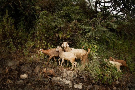 Happy Goat grazing