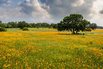 Poster Pale violet field of yellow Texas wildflowers