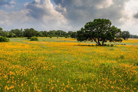 field of yellow Texas wildflowers