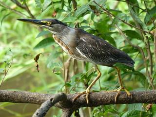 Green Heron (Butorides virescens) Ardeidae family. Amazon rainforest, Brazil
