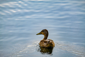 Duck is swimming, Arkhangelskoye, Moscow, Russia