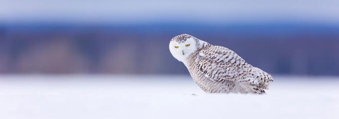 BUHO NIVAL - SNOWY OWL (Nyctea scandiaca) Fotomurales