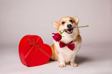 Corgi dog with a red heart-shaped gift box and a red rose on a white background, Valentine's day concept