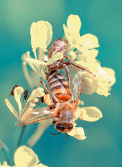 Tuinposter Vlinder Crab spider feasting on bee. Macro photo