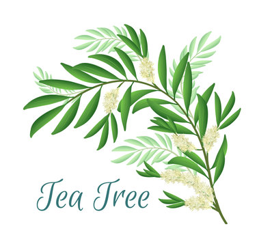 Tea tree branch with flowers and leaves. Malaleuca or tea tree design composition. Vector illustration for use in web design, print or other visual area.