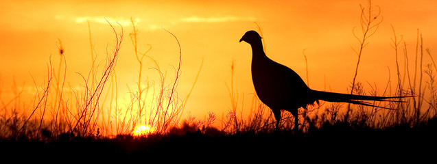 A silhouette of a male ring-necked pheasant against an evening sunset.