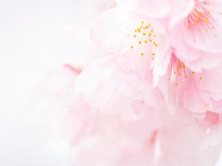 桜の花。日本の春。