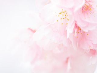 Foto op Canvas Kersenbloesem 桜の花。日本の春。