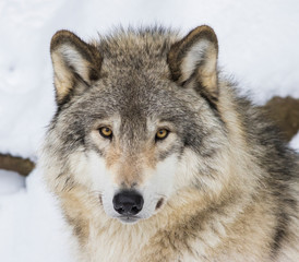 Canvas Prints Wolf Wolf portrait. Northwestern wolf (Canis lupus occidentalis), also known as the Mackenzie Valley wolf, Rocky Mountain wolf, Alaskan timber wolf or Canadian timber wolf