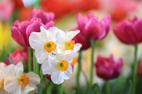 White narcissus daffodil and pink tulip in flower bed for early spring bulb cottage garden