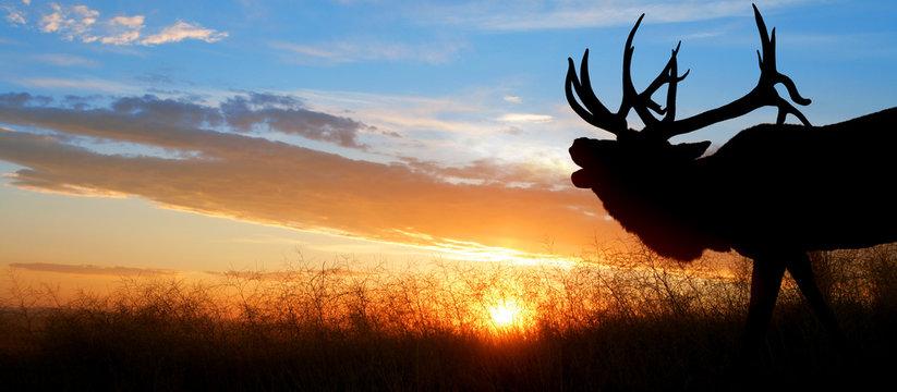A large bull elk bugling against a sunset