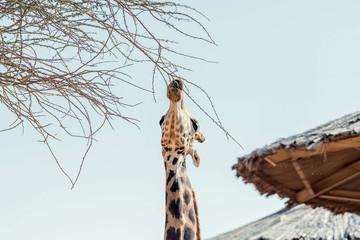 Beautiful wild animal tall Giraffe in Al Ain Zoo Safari Park, United Arab Emirates Wall mural