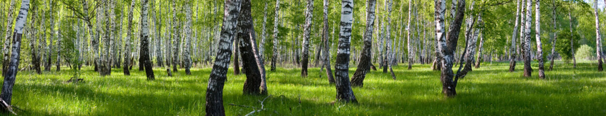 Photo sur Aluminium Bosquet de bouleaux summer birch forest landscape