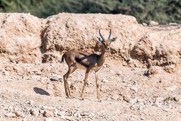 Photo sur Aluminium Antilope Beautiful wild animal Blackbuck deer (Antilope cervicapra) or Indian antelope in Al Ain Zoo Safari Park
