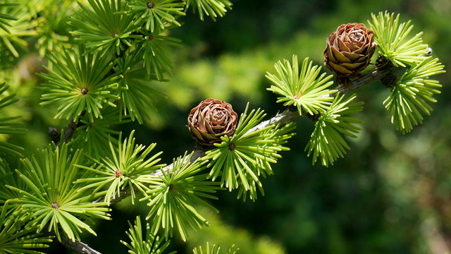 Bright green fluffy branches with cones of larch tree Larix decidua Pendula in summer day. Natural beauty of elegant larch tree twig. Close-up branch of young larch as green spring