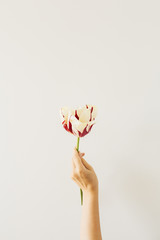 Photo sur Aluminium Tulip Woman hand hold tulip flower on white background. Flat lay, top view minimal floral composition.