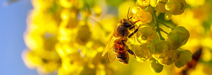 Fotorolgordijn Bee Honey bee pollinates yellow flowers barberry in the garden on background of blue sky. Nature in spring. Panoramic banner.