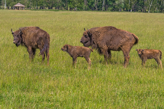 Two bison mother with two bison calf walk in a meadow