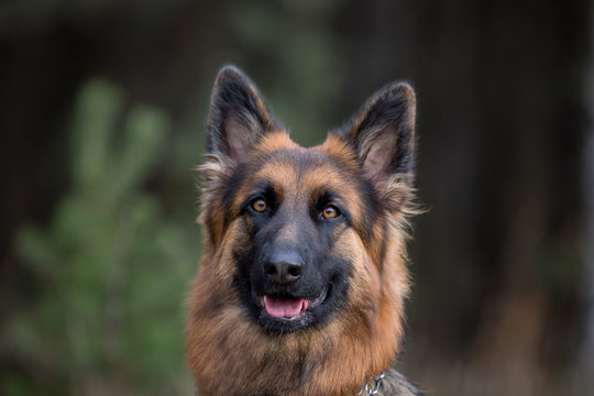 close-up portrait of young long haired female german shepherd dog in daytime in autumn
