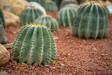 Stores à enrouleur Cactus Beautiful collection of cactus in garden.