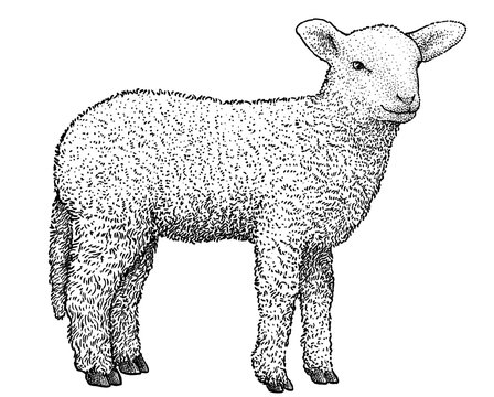 Lamb illustration, drawing, engraving, ink, line art, vector