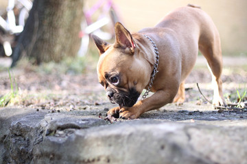 Foto op Plexiglas Franse bulldog Happy French Bulldog playing in a forest