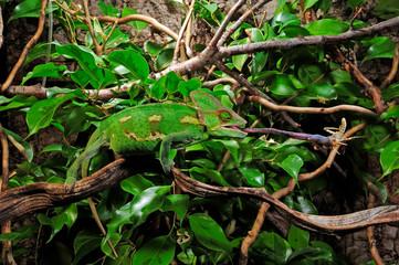 Deurstickers Kameleon jagendes Chamäleon / hunting Chameleon - Veiled chameleon / Jemenchamäleon (Chamaeleo calyptratus)