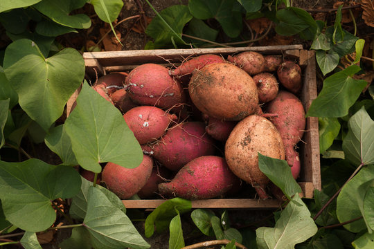 harvest sweet potato in wooden box with green leaf at organic farm japan, Growing and planting sweet potato as vegetable in garden.