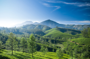 Beautiful tea plantation landscape in the morning.