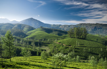 Beautiful tea plantation landscape in the morning.  Fotomurales