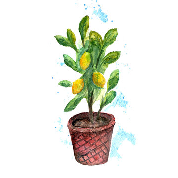 Indoor plant lemon tree with fruits in a pot. Watercolor illustration.