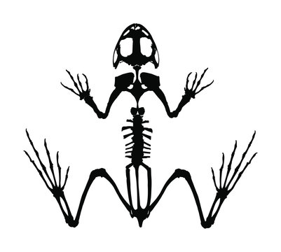 Frog skeleton vector silhouette isolated on white background. Animals anatomy. zoology, anatomy of amphibian. Education archaeology. Frog body parts, toad skeleton structure.